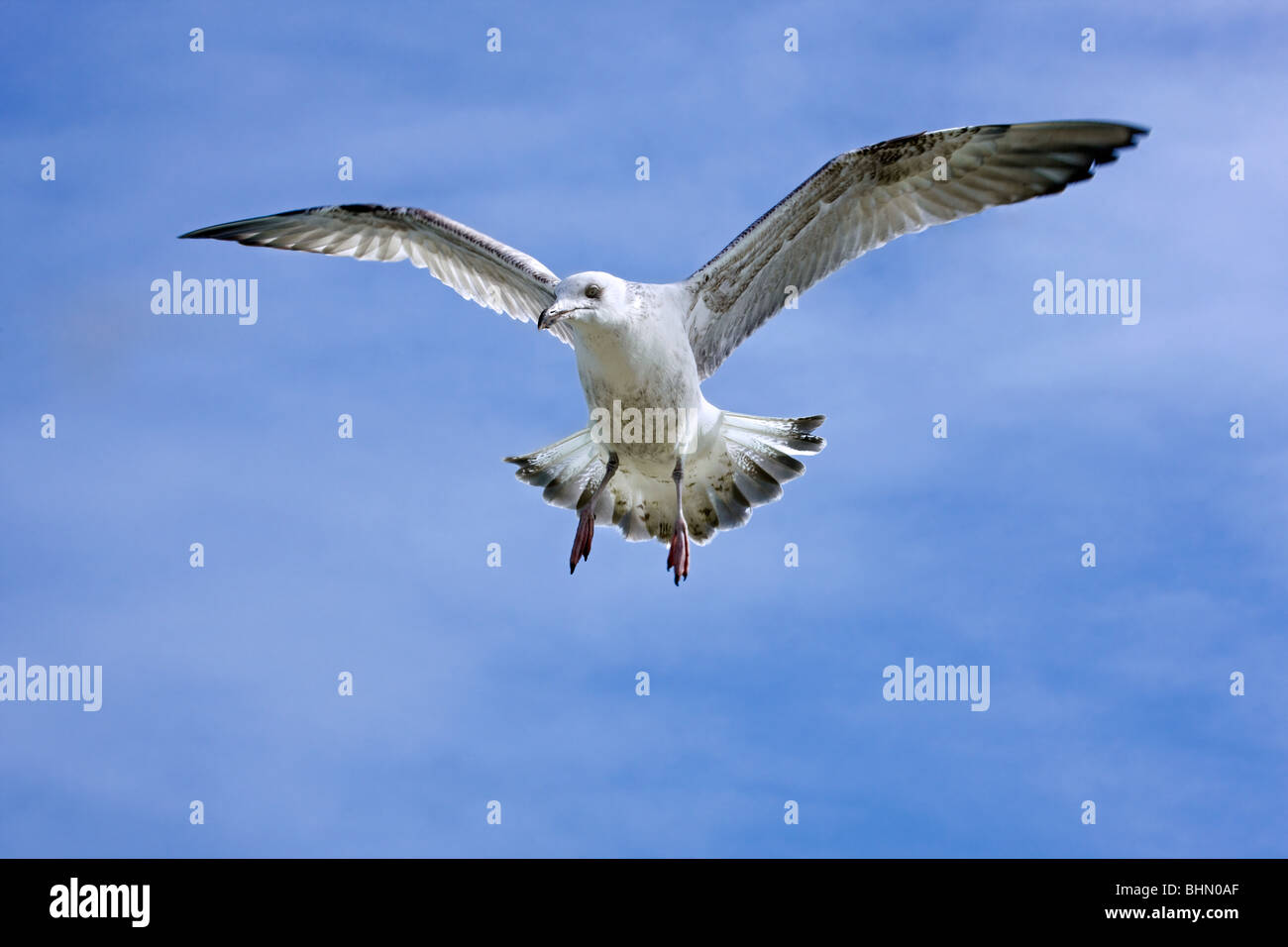 Herring gull (Larus argentatus) in flight against blue sky - Stock Image