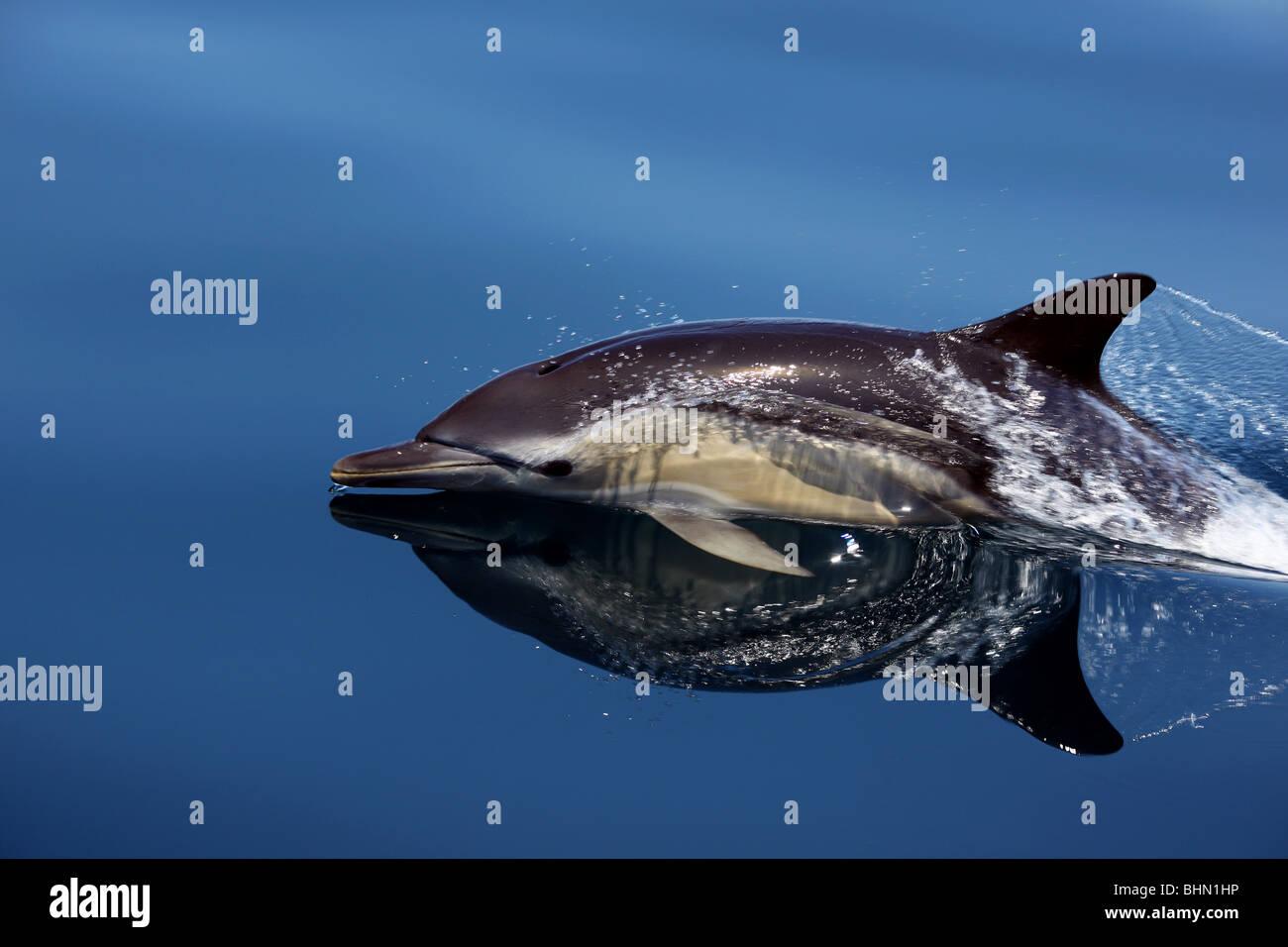 Common dolphin (delphinus delphis) off Lagos, Portugal. - Stock Image