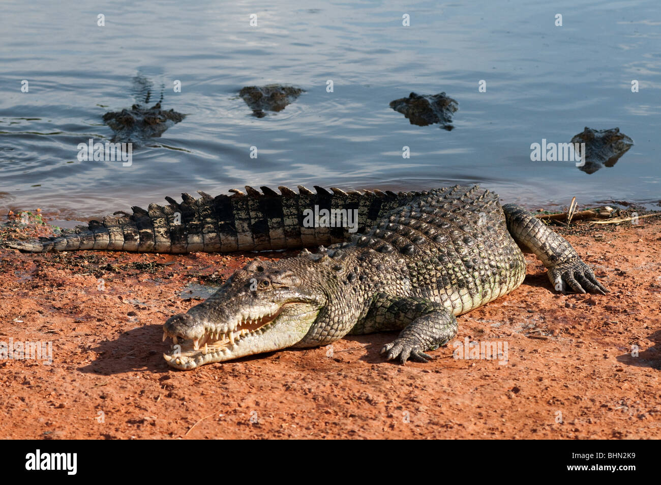 Australian male Saltwater Crocodile waiting to be fed with his harem of females in the background - Stock Image