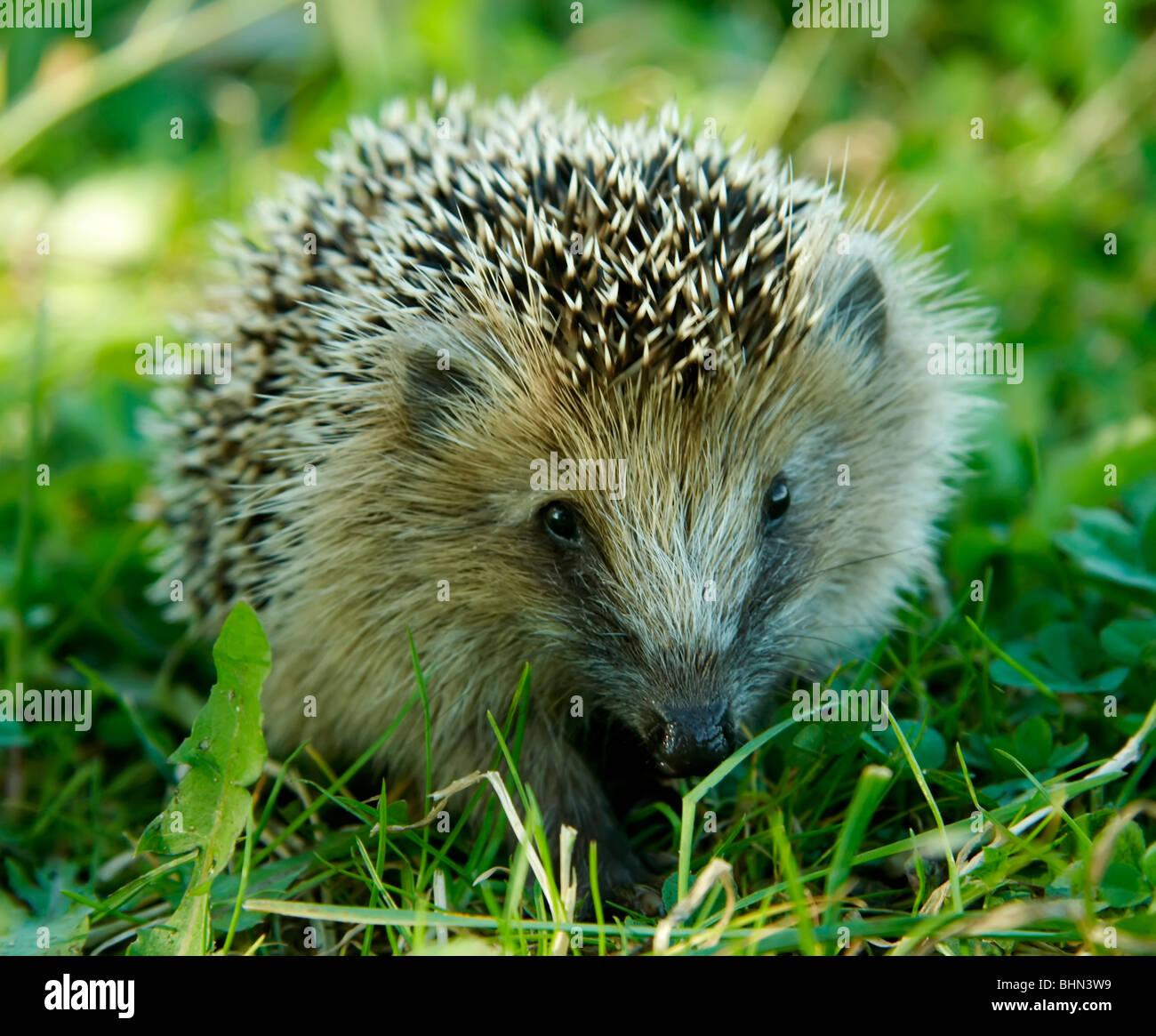 West European Hedgehog (Erinaceus europaeus) - Stock Image