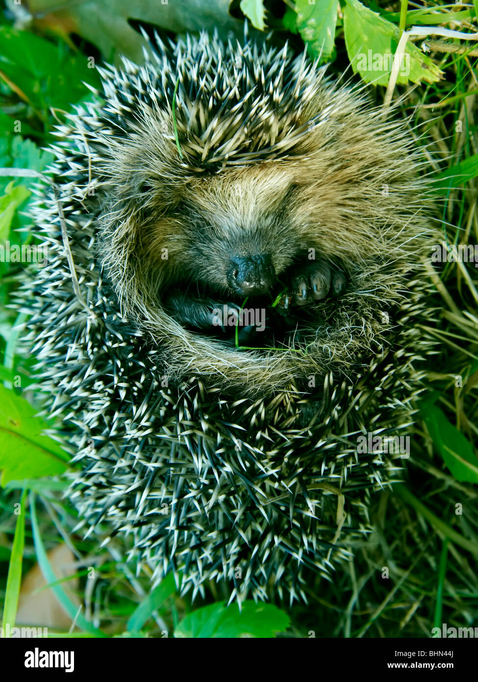 West European Hedgehog (Erinaceus europaeus) - Stock Image