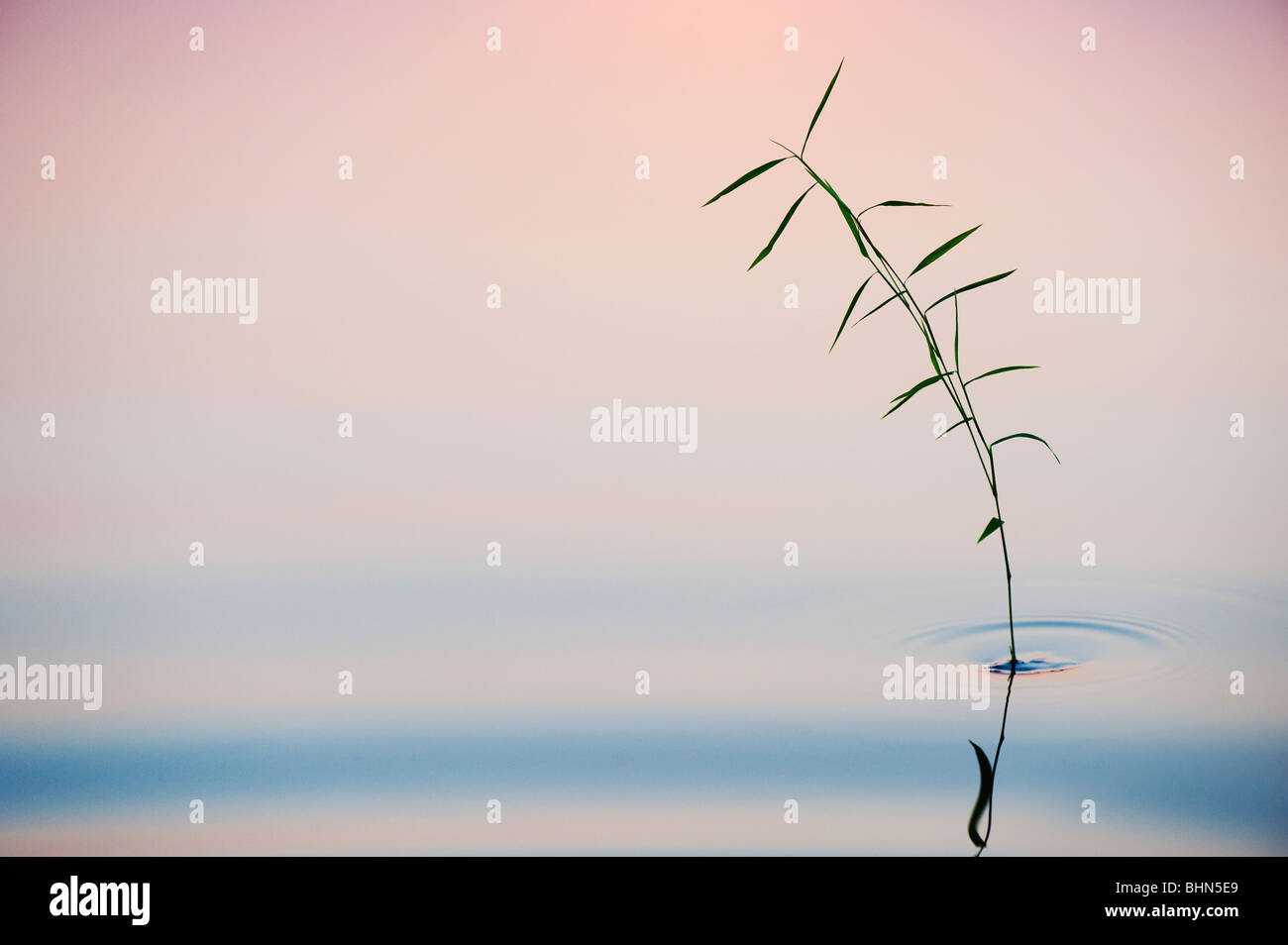 Bamboo grass reflecting in a still pool at dawn in india - Stock Image
