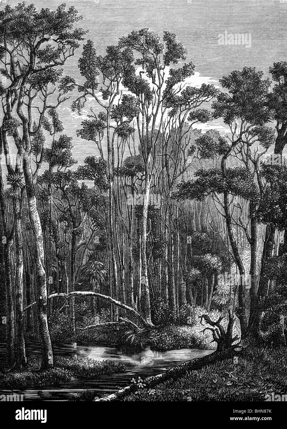 geography / travel, Australia, landscape, forest, eucalyptus forest, wood engraving, 19th century, historic, historical, Stock Photo