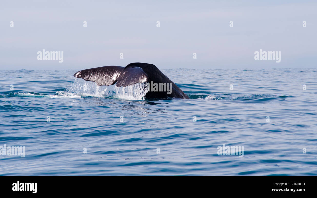 Sperm Whale Diving, Kaikoura, South Island, New Zealand - Stock Image