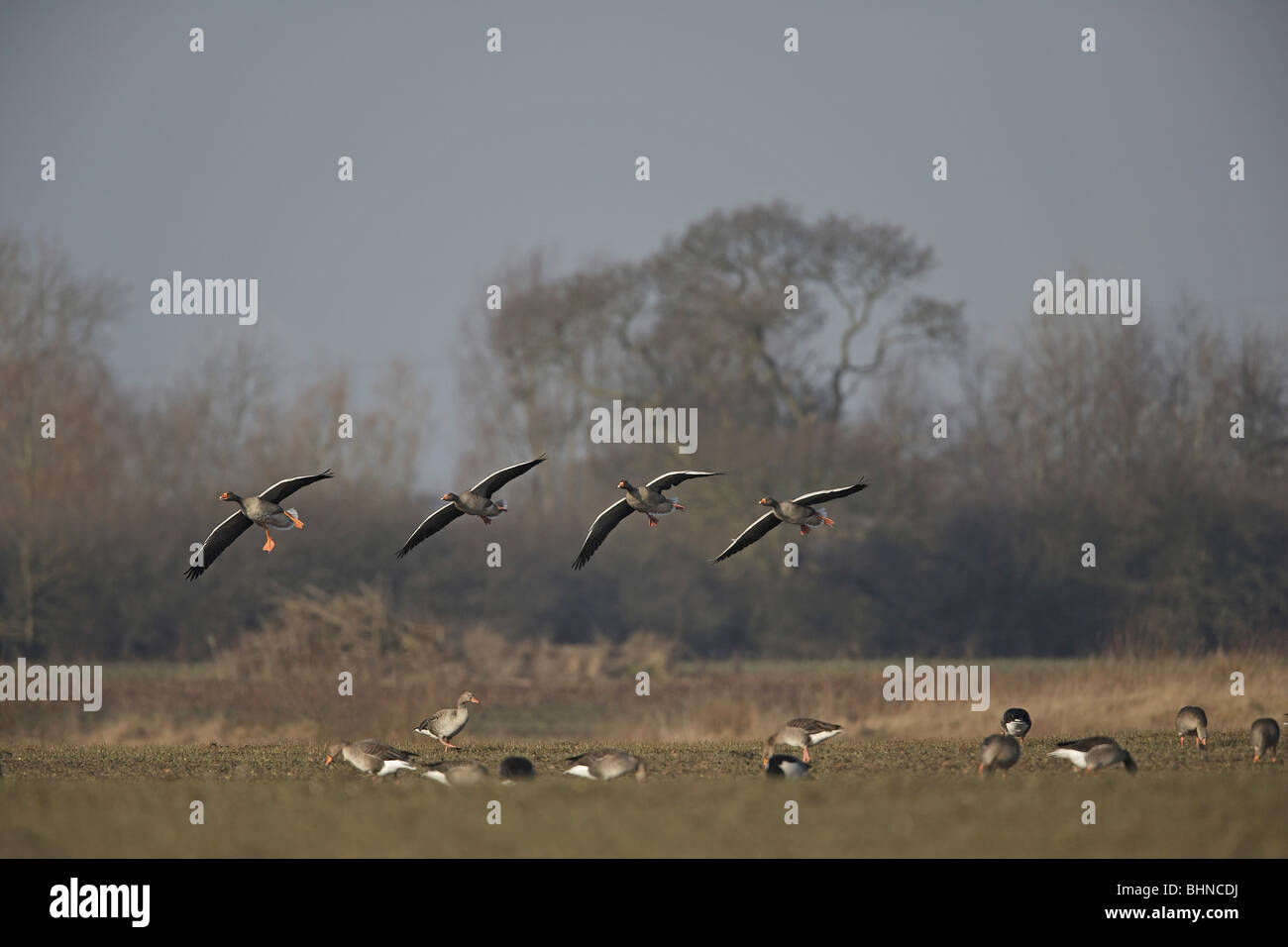 Greylag Goose, Anser anser flying in to feed with other geese in a field Stock Photo