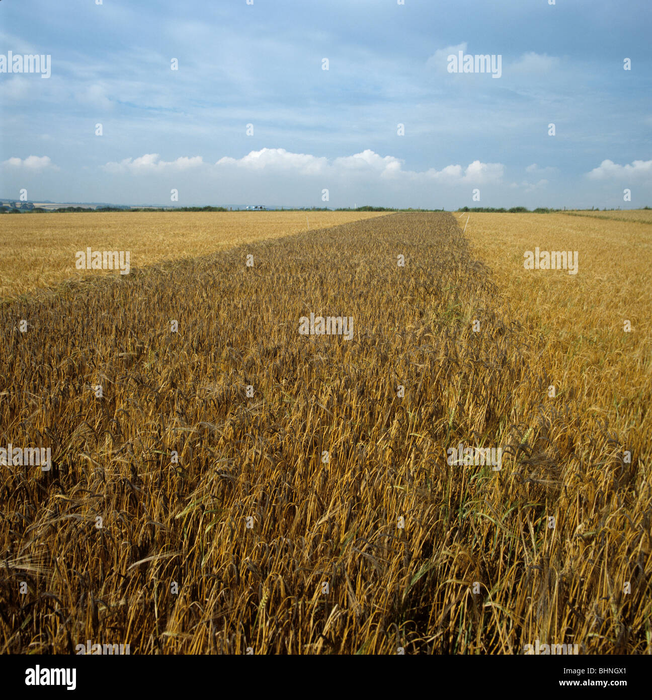 Plot of black barley Ethiopian variety now used in various culinary processes - Stock Image