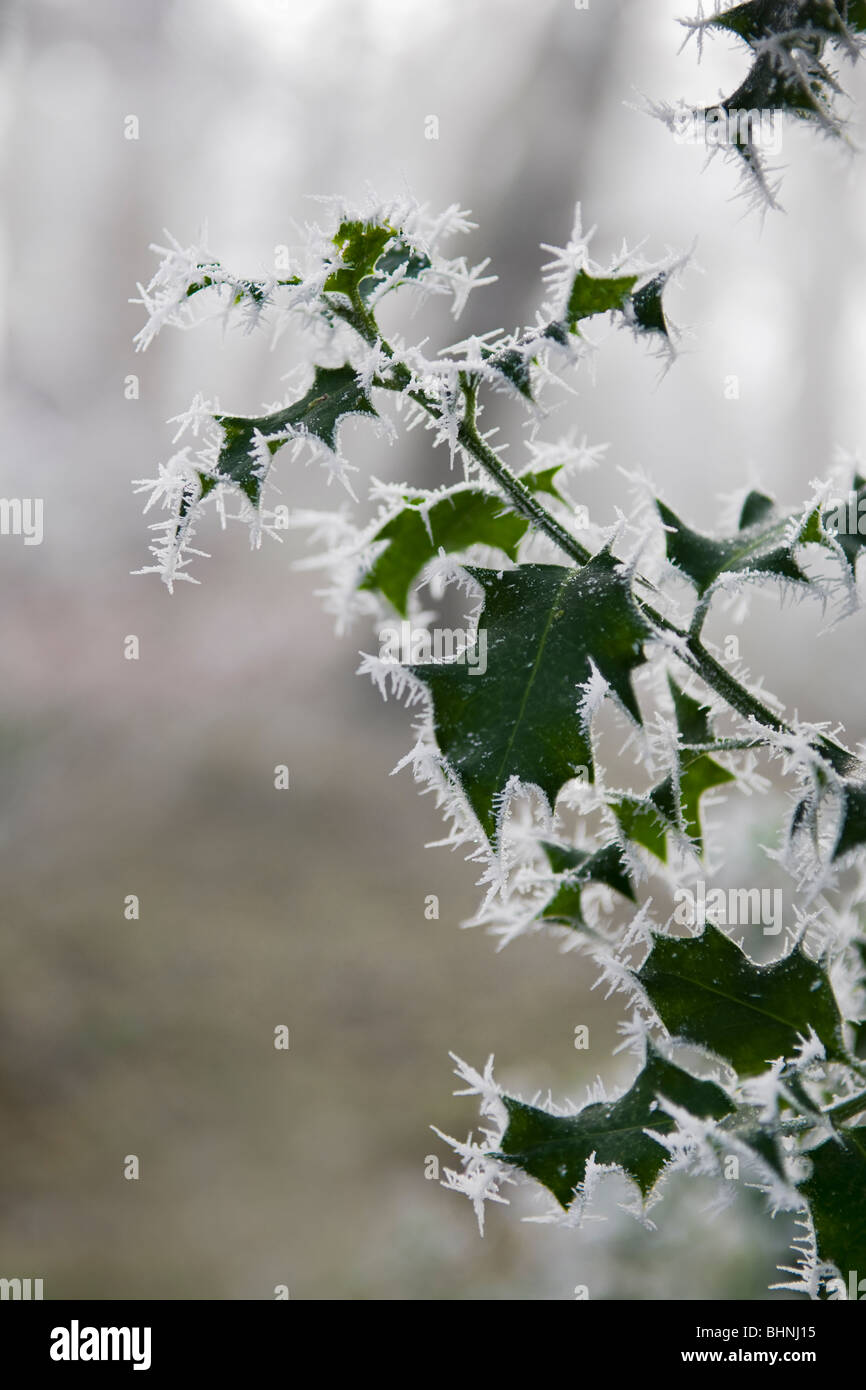 Wintry scene of holly leaves covered in hoar frost - Stock Image