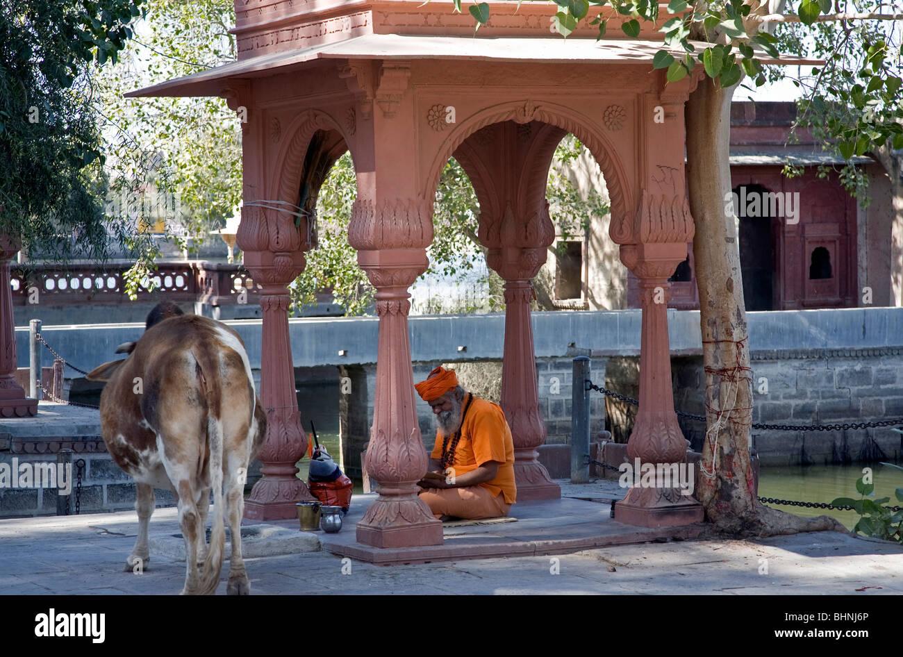 Sadhu and cow. Kolayat. Rajasthan. India - Stock Image