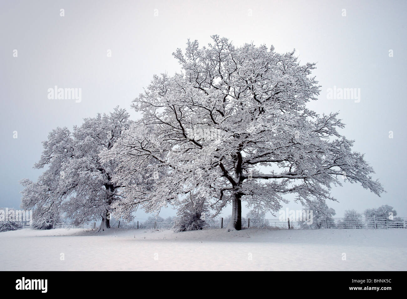 Trees in the Chiltern Hills, near High Wycombe. December snow 2009 - Stock Image
