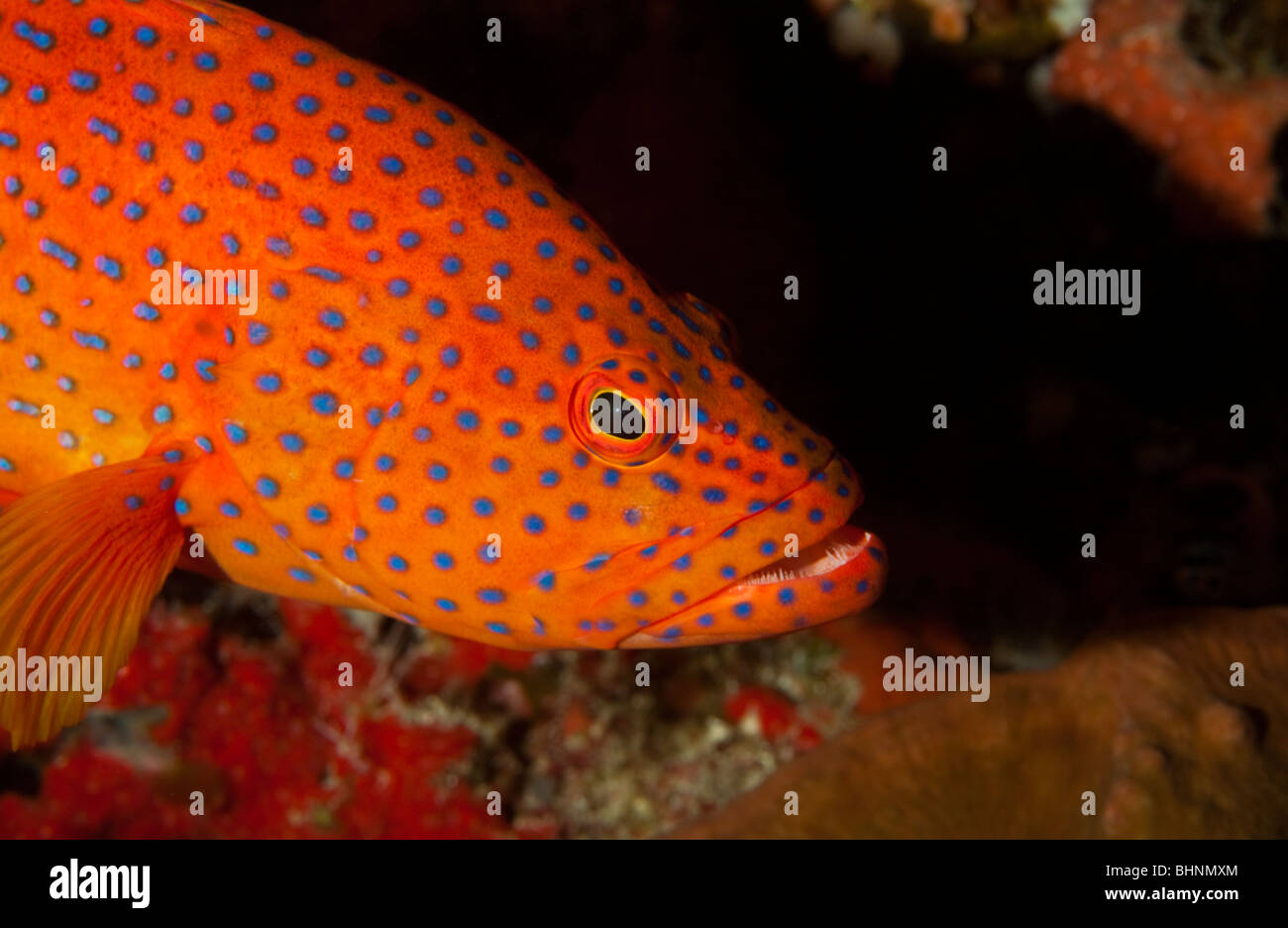 Underwater Bright colorful Orange and blue grouper from Papua New ...