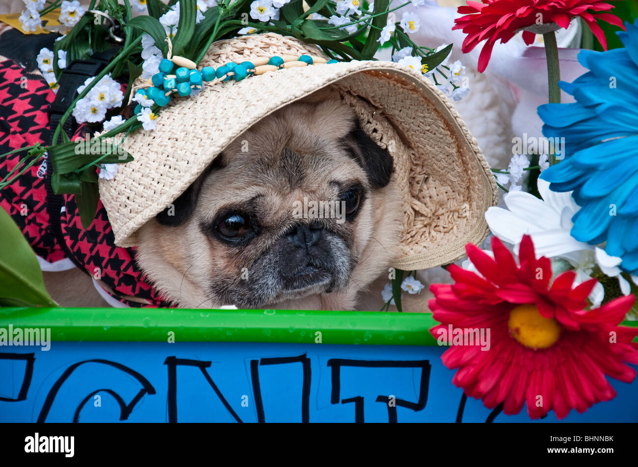 Close up of Pug in costume at 2010 Pug Parade in Lakewood Ranch, Florida - Stock Image