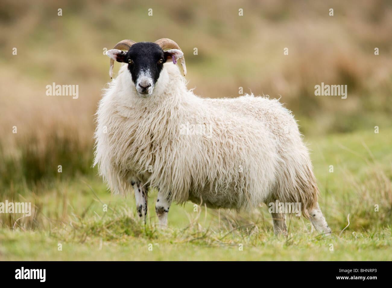 Scottish Black-faced Sheep. Ram lamb. Ovis aries. Islay, Scotland. - Stock Image