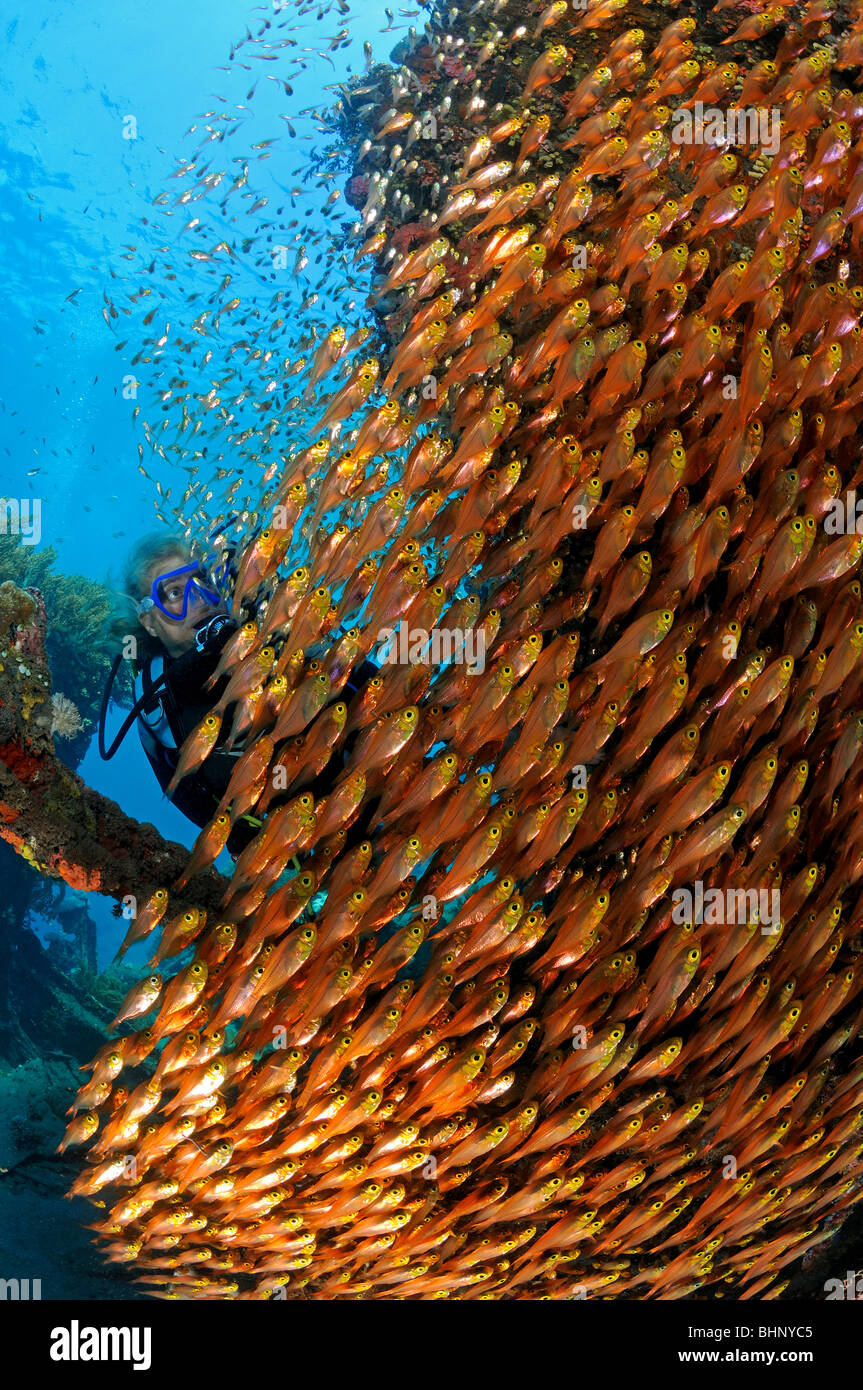 Parapriacanthus ransonneti, school of Pigmy sweeper with scuba diver, Amed, Bali, Indonesia, Indo-Pacific Ocean - Stock Image