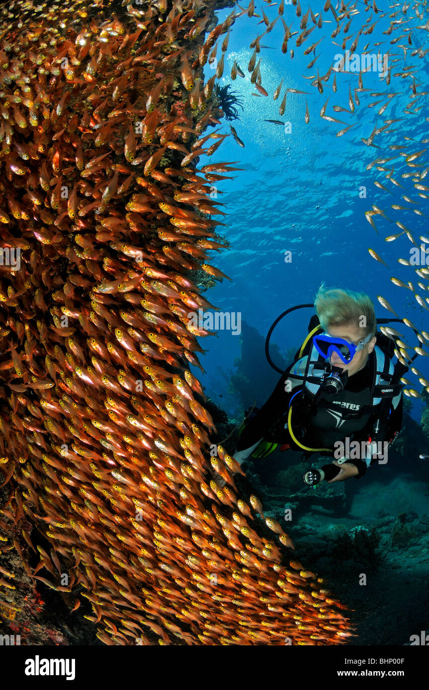 Parapriacanthus ransonneti and scuba diver, Amed, Japanese shipwreck, Bali, Indopacific Ocean - Stock Image
