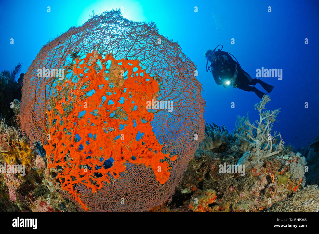 Latrunculia magnifica, scuba diver with giant sea fan and red fire sponge, Close Encounters, Pemuteran, Bali - Stock Image