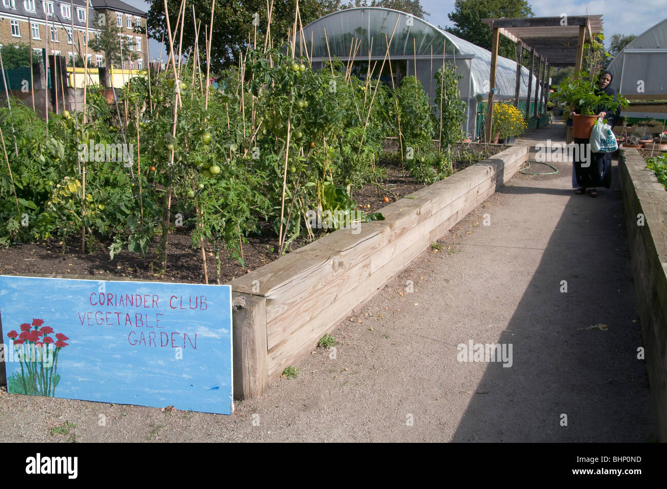UK.Visiting Bengali woman volunteer by coriander garden and vegetable allotment at Spitalfields City Farm in east - Stock Image