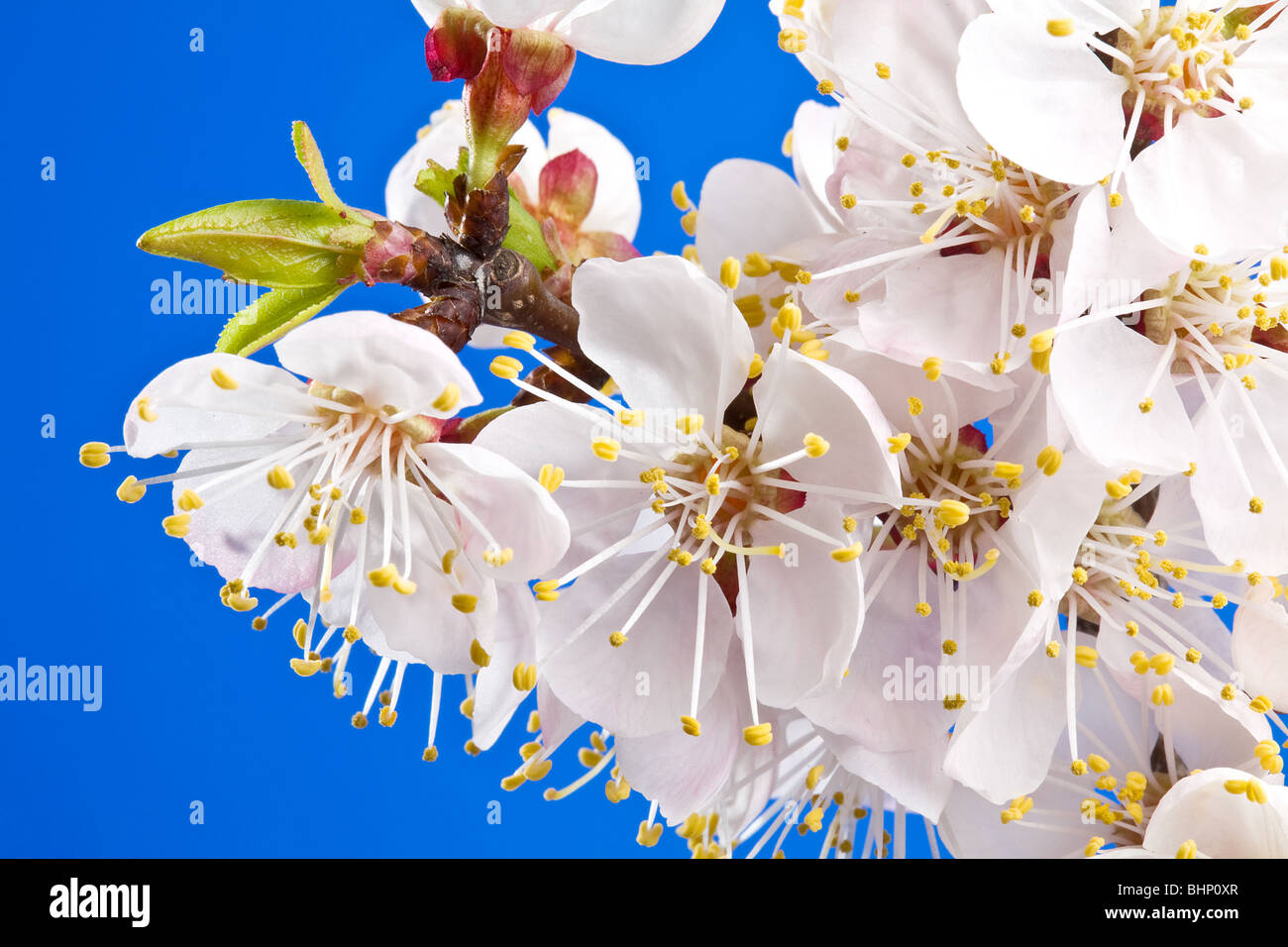 Flowers of apricot on a blue background. Stock Photo