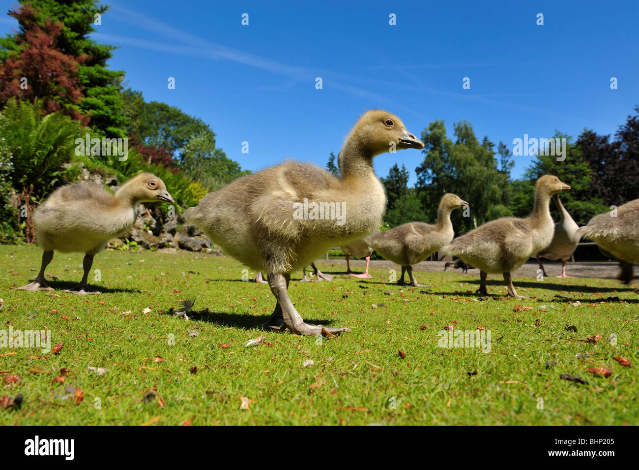 close up of a geese family in spring - Stock Image