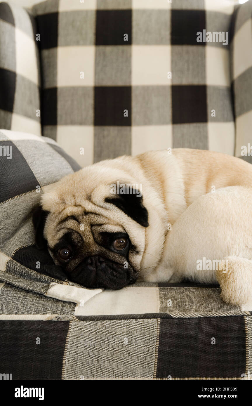 Pug dog curled up on checkered armchair - Stock Image