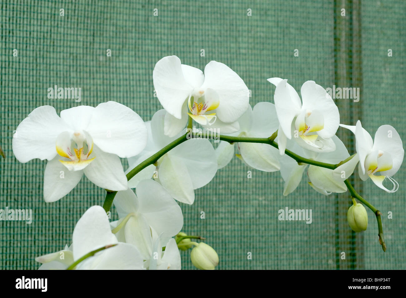 Phal Cool Breeze White Moth Beautiful Trailing White Orchid Stock