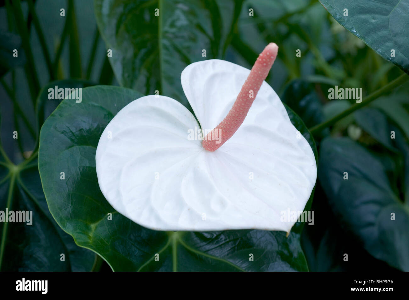 Anthurium andreanum beautiful pure white heart shaped flower with beautiful pure white heart shaped flower with long pink pistel mightylinksfo