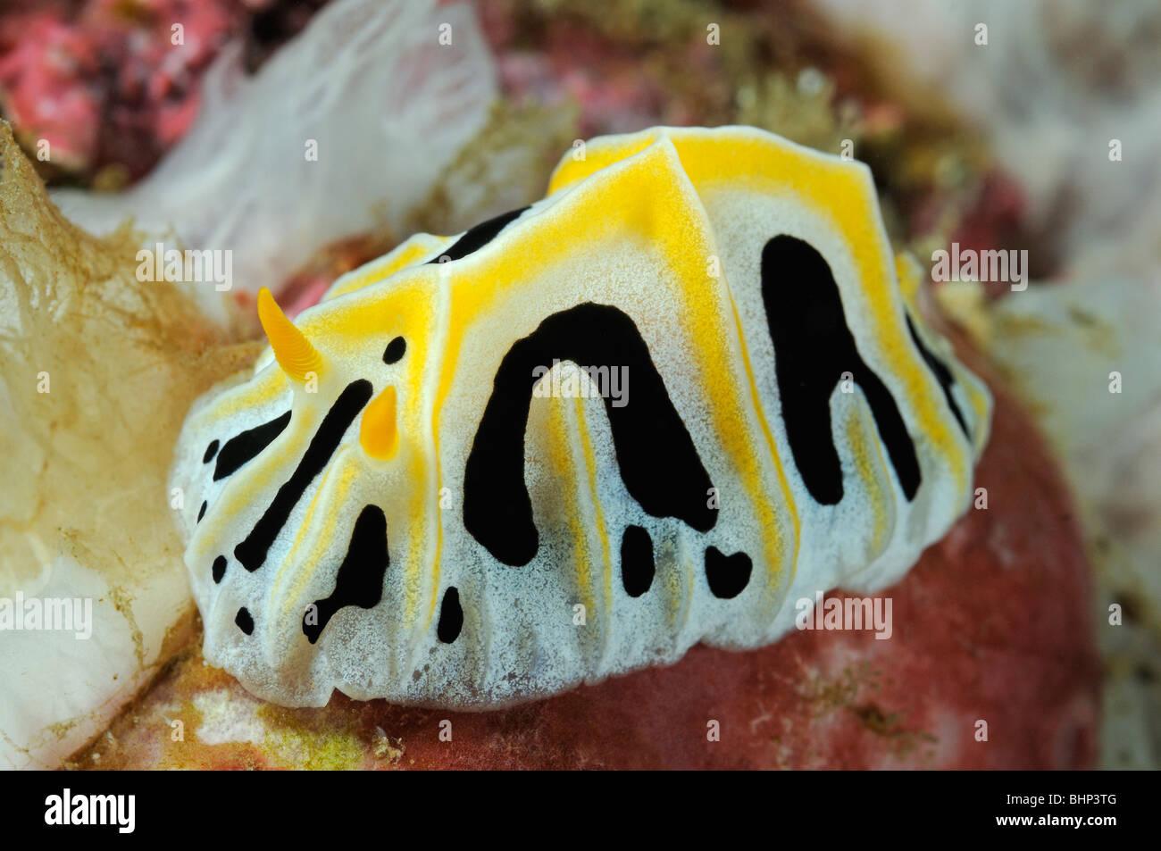 Reticulidia fungia, yellow black white nudibranch, Pemuteran, Bali, Indonesia, Indo-Pacific Ocean - Stock Image