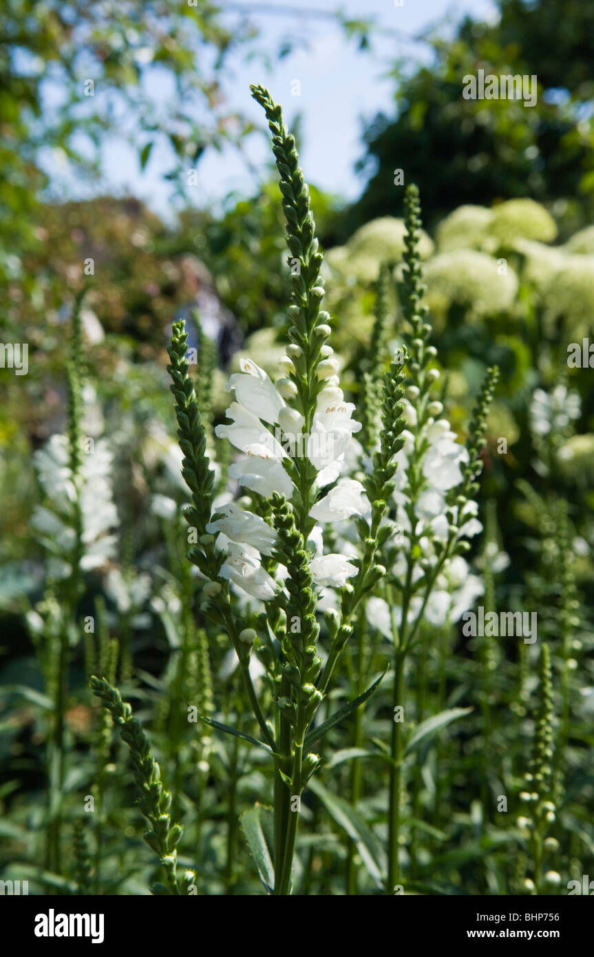 Obedient Plant/False Dragonhead (Physostegia virginiana) growing in a sunny garden border - Stock Image