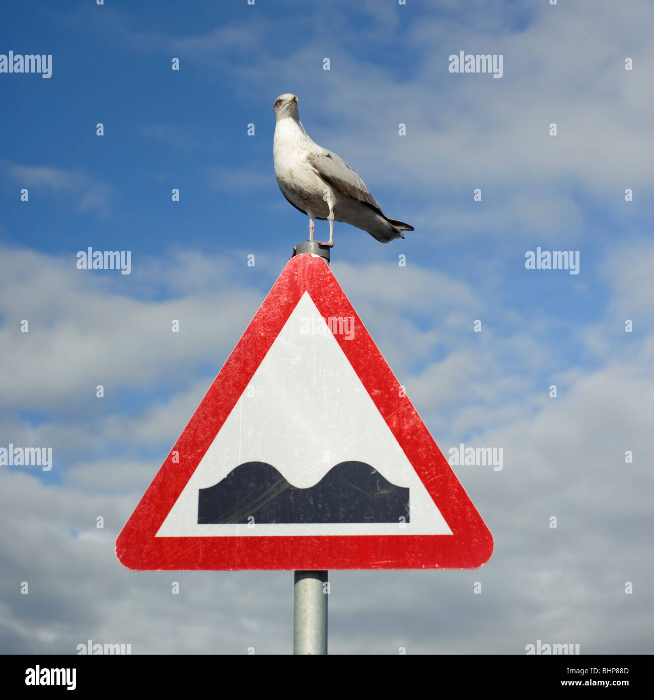 Seagull standing on triangular road humps warning sign, UK - Stock Image