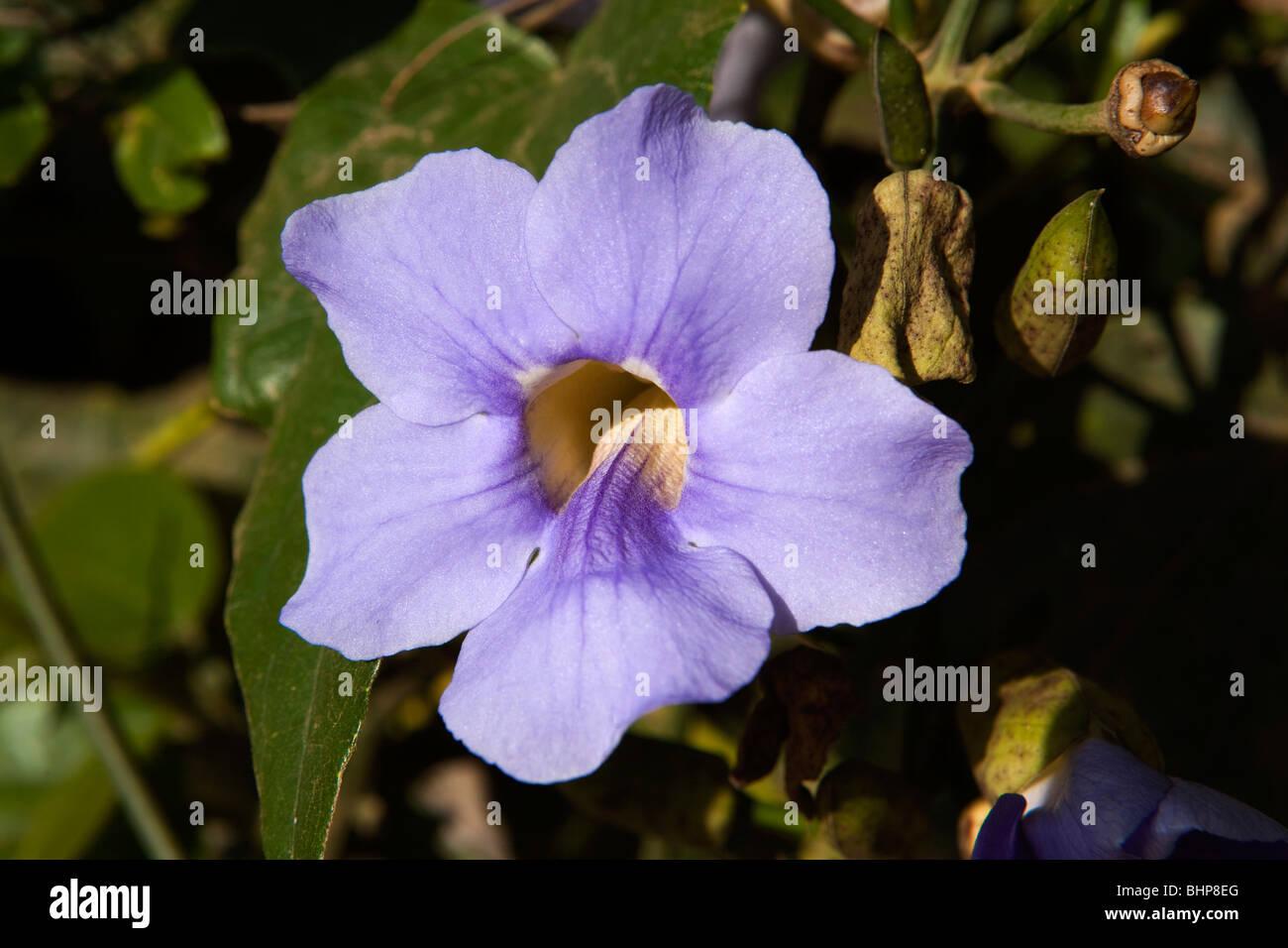 Blue Trumpet Vine Stock Photos Blue Trumpet Vine Stock Images Alamy