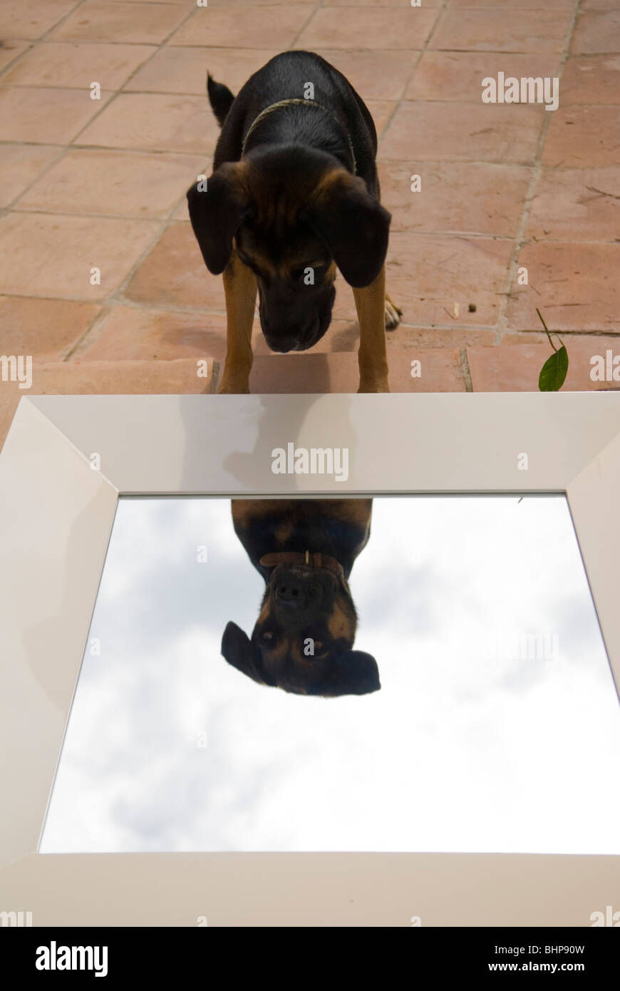 a large dog peers at its reflection in a mirror that is lying on its' back on a terrace - Stock Image