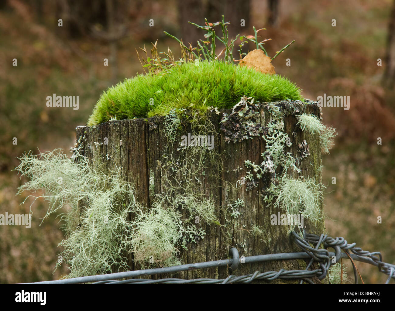 Fence post with moss and various species of lichen - Stock Image