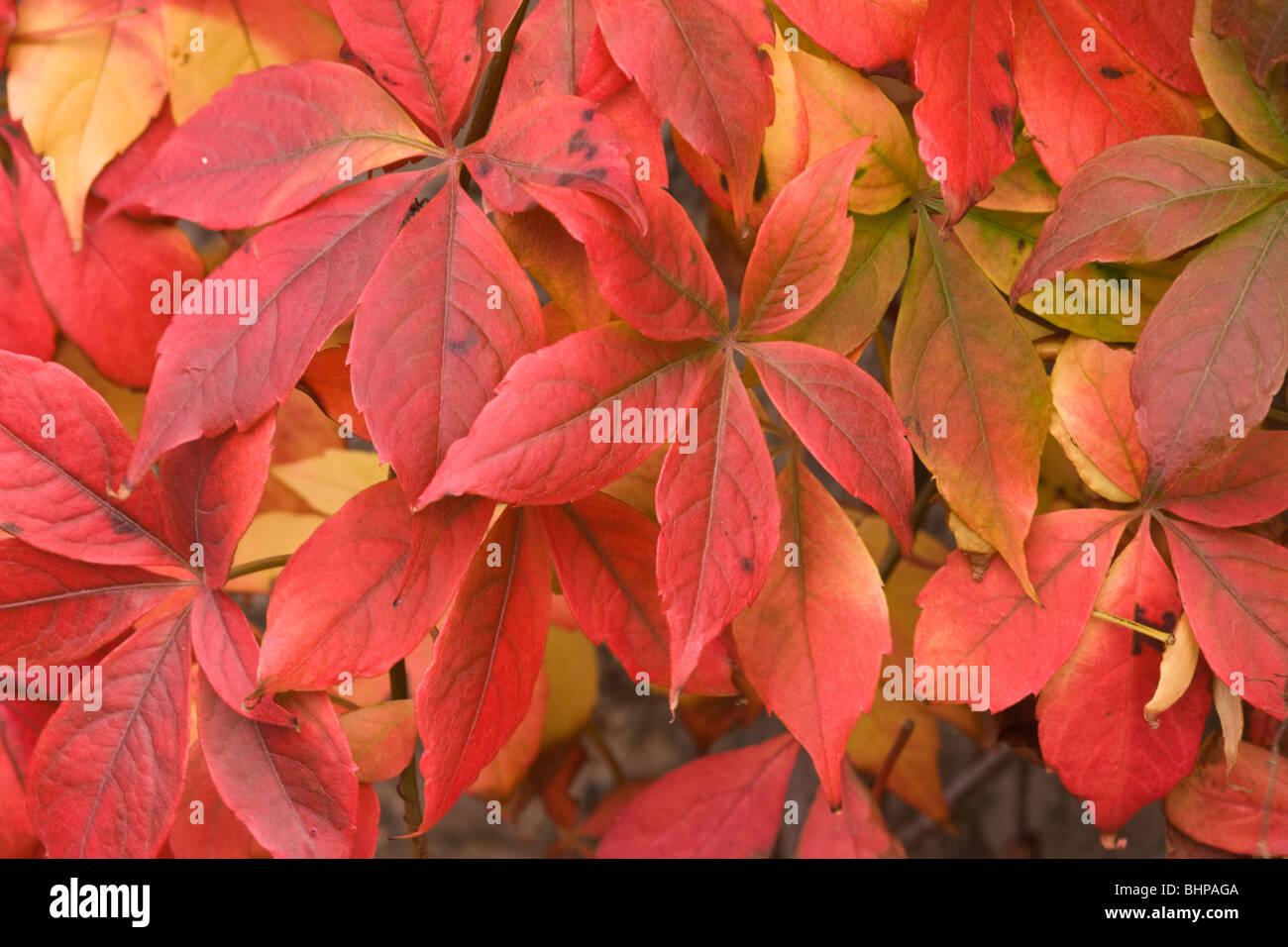 Virginia creeper in autumn - Stock Image