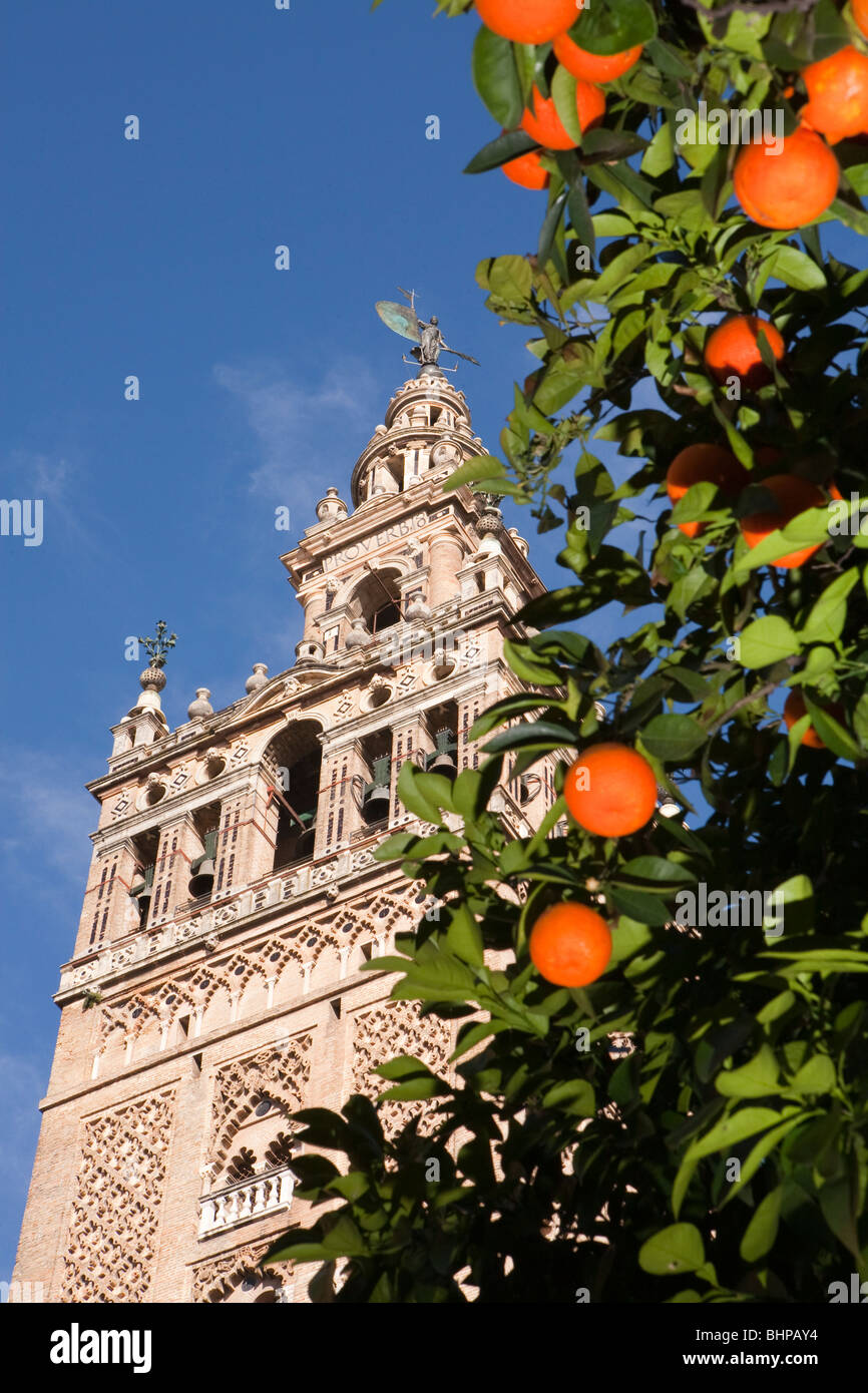 The Giralda tower seen through orange trees with oranges. In Seville (Sevilla) the capital of Andalusia (andalucía), - Stock Image