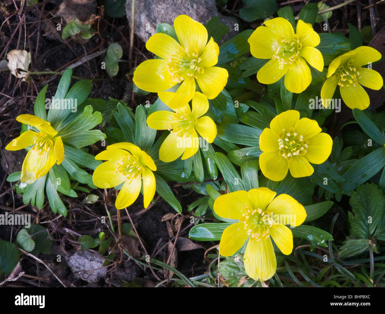 Closeup Of Yellow Winter Aconite Flowers In A Cheshire Garden
