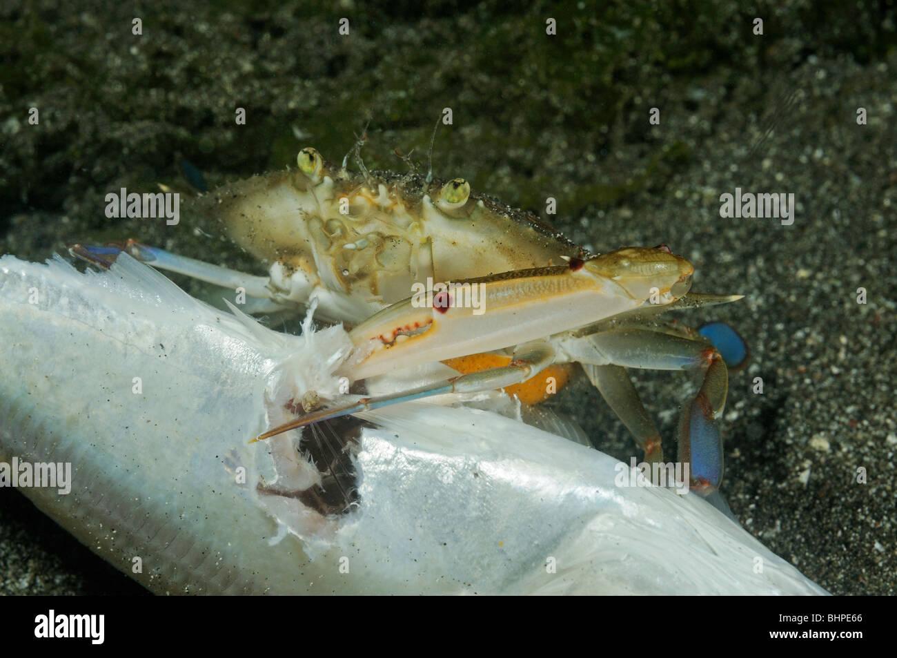 Portunus pelagicus, Crab feeding on dead fish, Secret Bay, Gilimanuk, Bali, Indonesia, Indo-Pacific Ocean - Stock Image