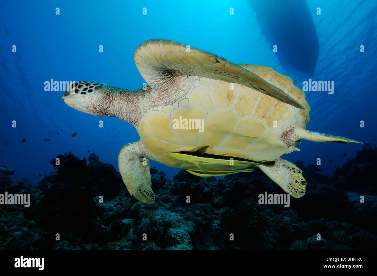 Chelonia mydas, Echeneis naucrates, Green Sea Turtle with Live sharksucker, Sand slope, Nationalpark Island Menjangan, - Stock Image