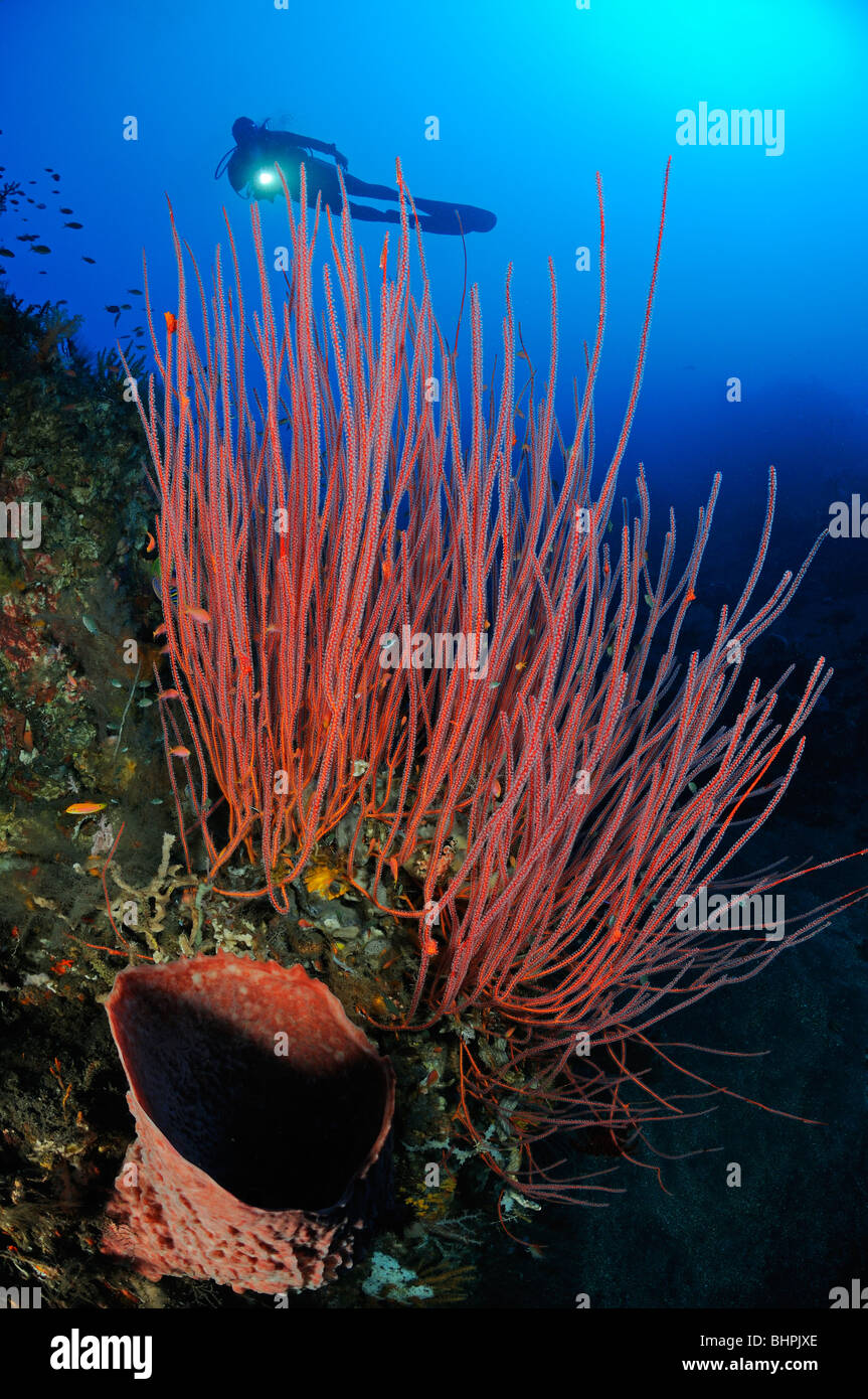 scuba diver with red whip corals and barrel sponge, Alam Batu, Housereef, Bali Stock Photo