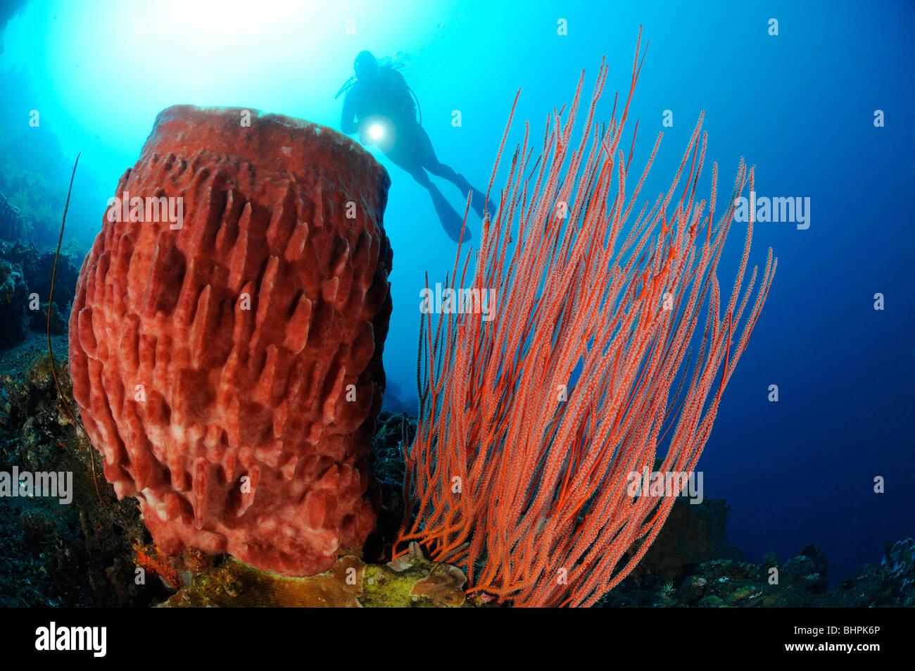 Ellisella cercidia, Ellisella ceratophyta, Xestospongia testudinaria, scuba diver with red whip corals and barrel Stock Photo
