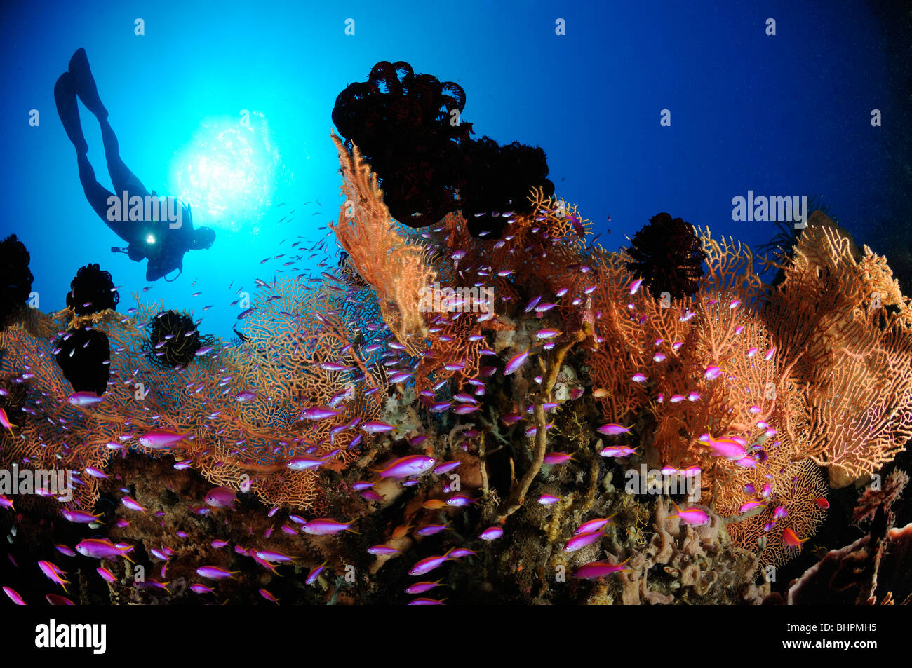 Pseudanthias tuka, scuba diver with colorful coral reef and Purple queen and soft corals, Alam Batu, Housereef, Stock Photo