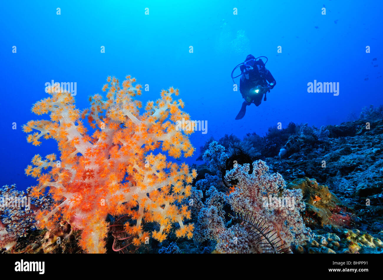 Dendronephthya klunzingeri, scuba diver and colorful coral reef, soft corals and barrel sponge, Jemeluk, Cemeluk, - Stock Image