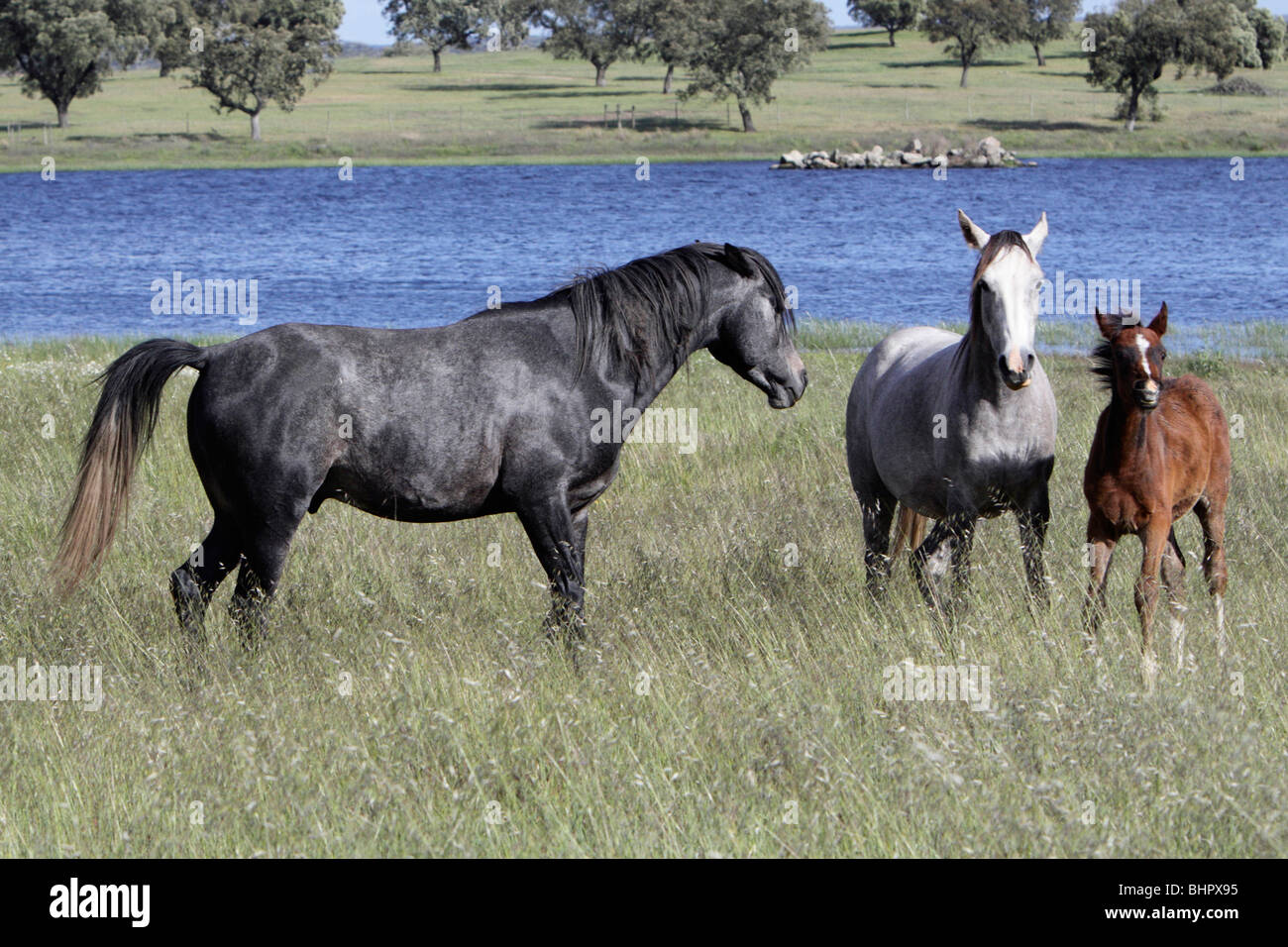 Arabic Horses, stallion, mare and foal on meadow, region of Alentejo, Portugal - Stock Image