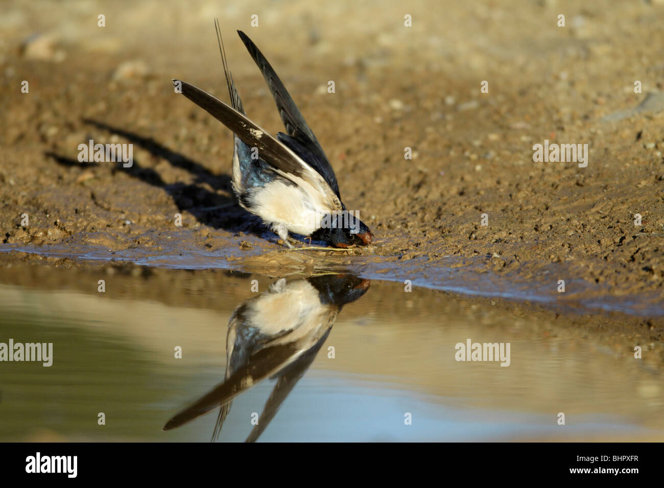 Barn Swallow (Hirundo rustica), collecting nest material from pool, Portugal - Stock Image