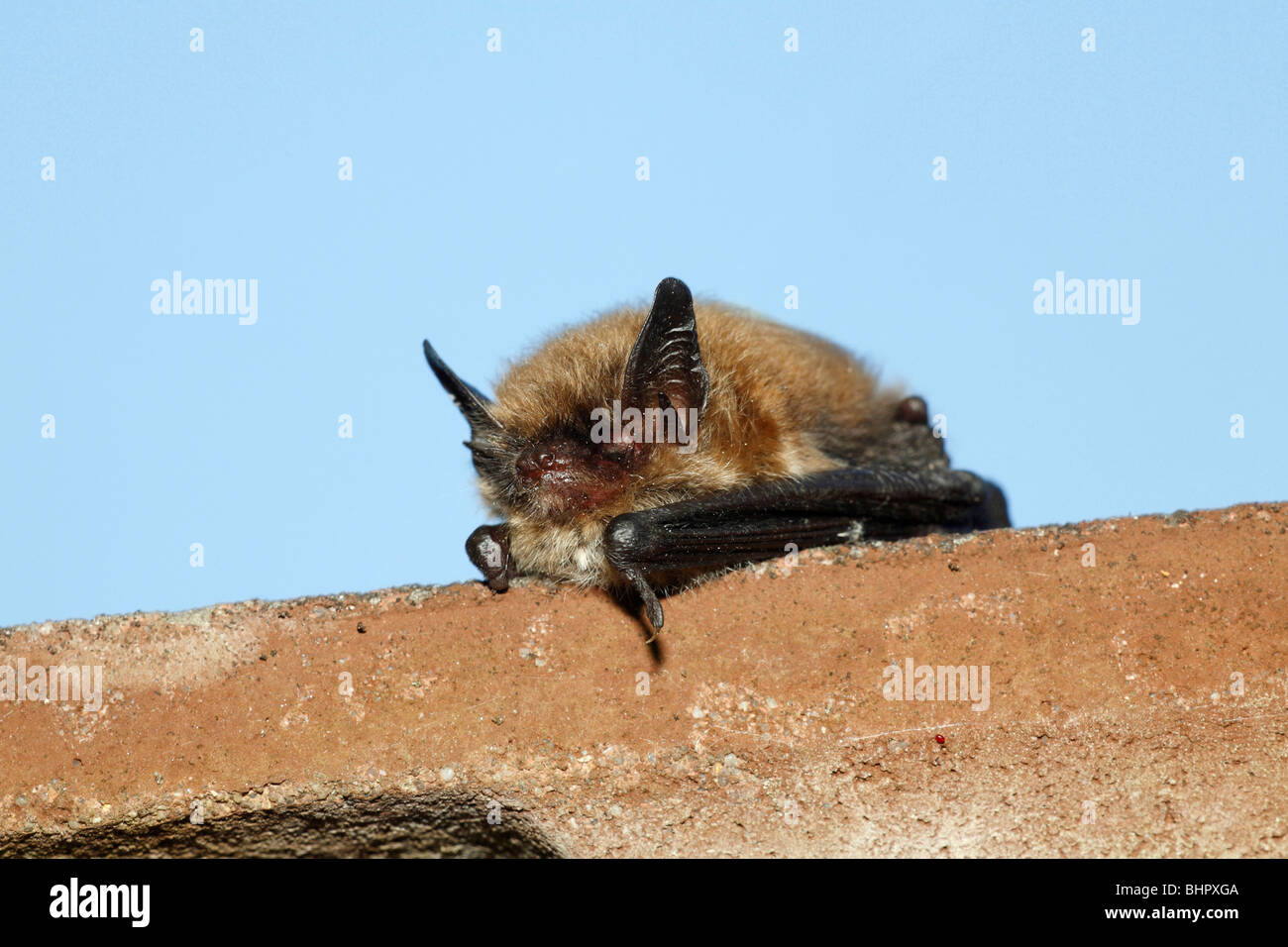 Pipistrelle Bat - (Pipistrellus pipistrellus), on house roof edge during daytime, Lower Saxony, Germany - Stock Image