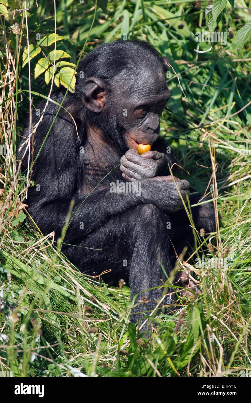 Bonobo Chimpanzee (Pan paniscus), juvenile feeding - Stock Image
