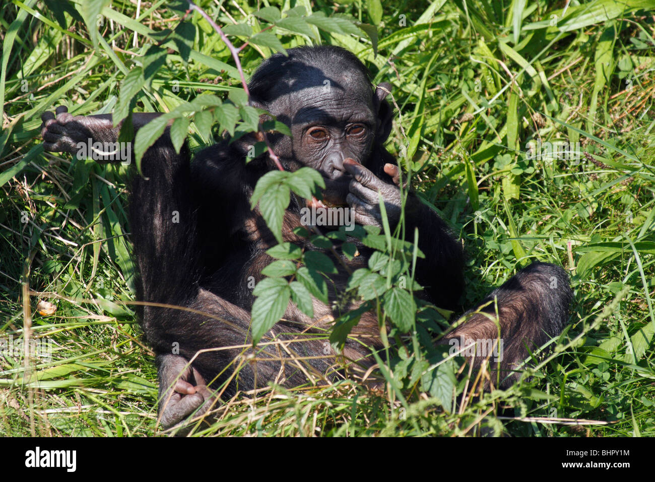 Bonobo Chimpanzee (Pan paniscus), juvenile hiding - Stock Image