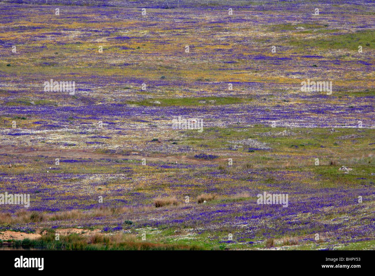 Great Bustard (Otis tarda), displaying area, lek, amongst wild flowers, Alentejo, Portugal - Stock Image