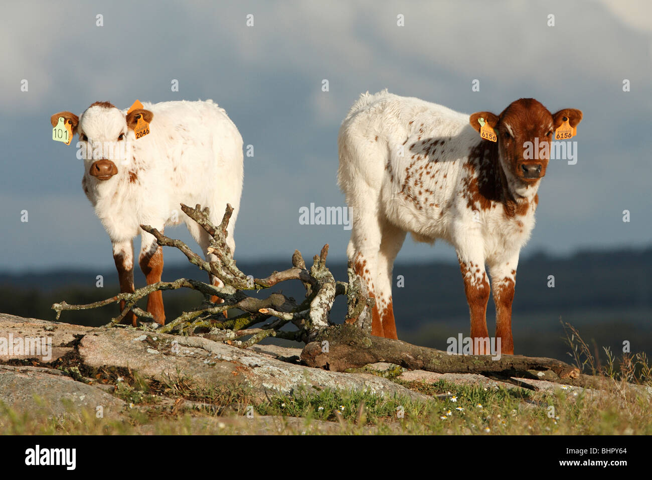 Cattle, bull calf with ear tags, beef cattle breed, Portugal - Stock Image