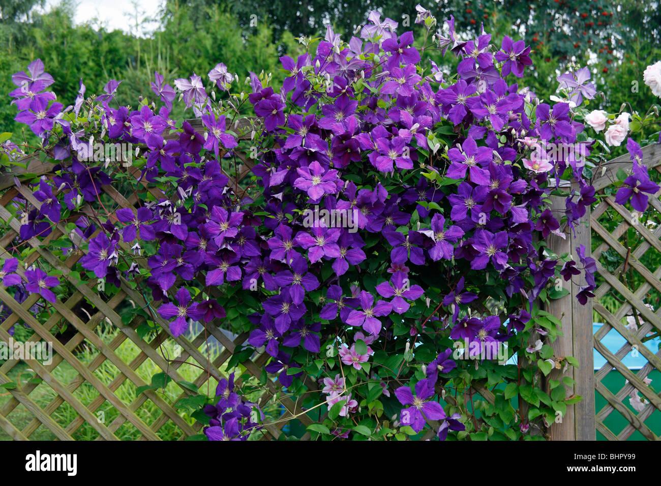 Flowering Clematis (x Jackmanni), Growing On Trellis In Garden, Germany    Stock