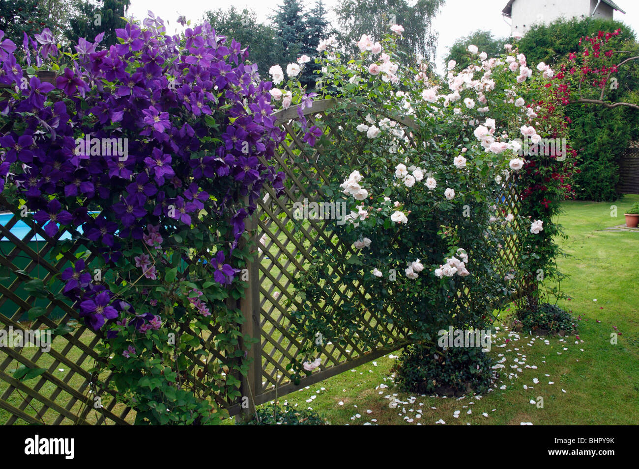 Flowering Clematis (x Jackmanni), And Climbing Rose Growing On Trellis In  Garden, Germany