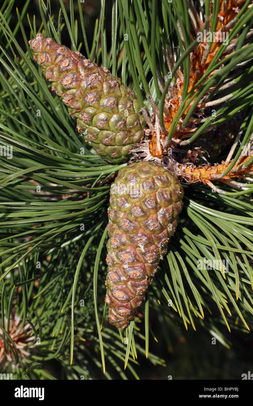 Black Pine Cones (Pinus nigra), Texel Island, Holland - Stock Image